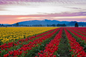 4 Skagit Valley Tulip Fields_resize